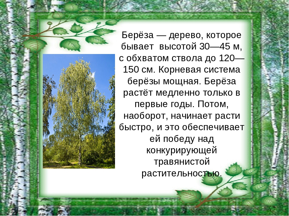 как дерево береза фото и описание заказ быстро