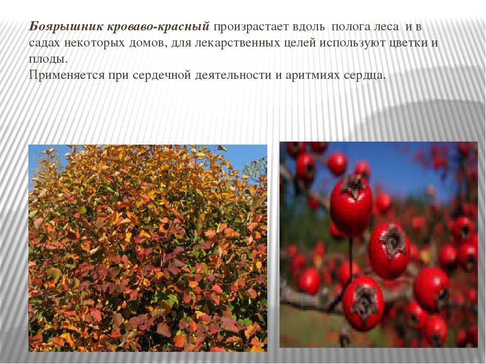 Боярышник кроваво-красный произрастает вдоль полога леса и в садах некоторых...