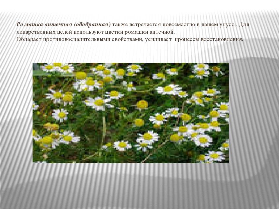 Ромашка аптечная (ободранная) также встречается повсеместно в нашем улусе.. Д...
