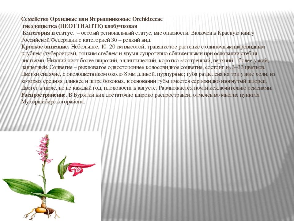 Семейство Орхидные или Ятрышниковые Orchideceae гнездоцветка (НЕОТТИАНТЕ) кло...
