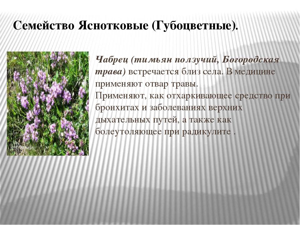 Семейство Яснотковые (Губоцветные). Чабрец (тимьян ползучий, Богородская трав...