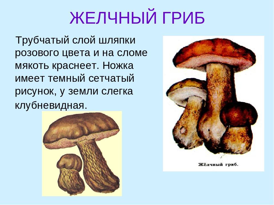 виды трубчатых грибов фото и описание этого