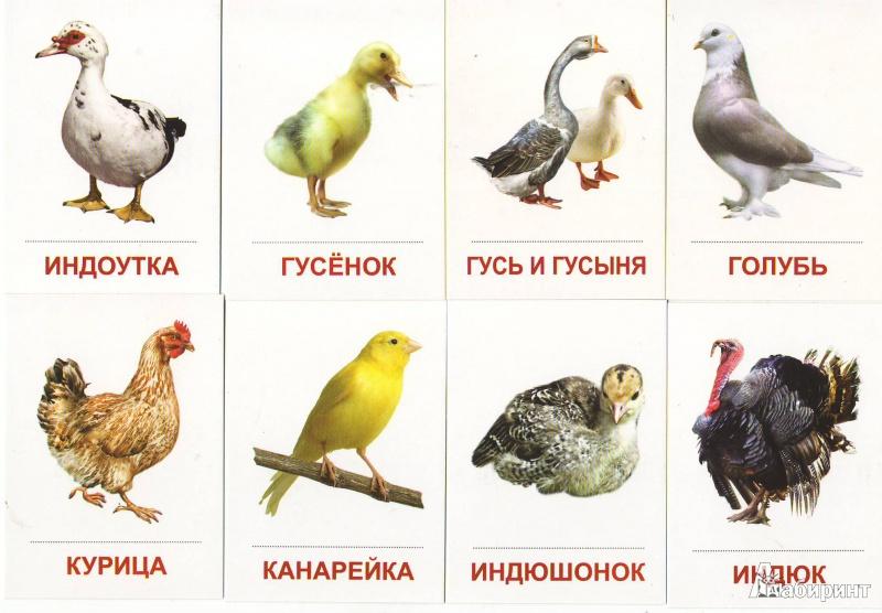 домашние птицы обучающие картинки представляет собой остатки