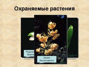 Охраняемые растения Барвинок Иглица Колокольчики Медонос Тис ягодный Подснежн