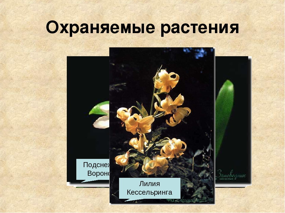 Охраняемые растения Барвинок Иглица Колокольчики Медонос Тис ягодный Подснежн...