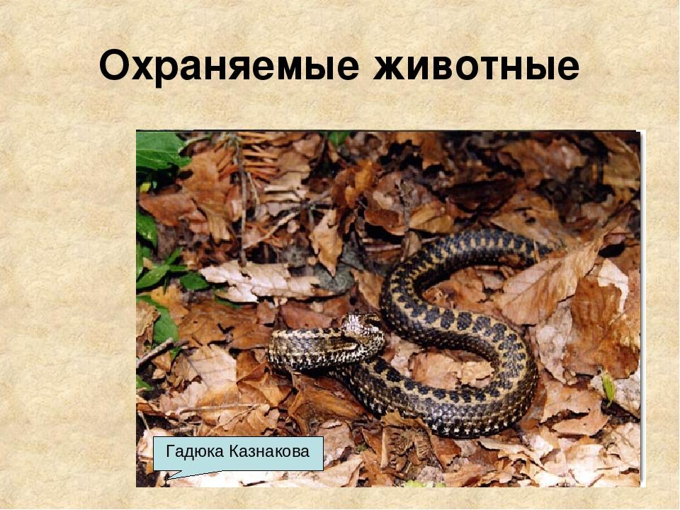 Охраняемые животные Благородный олень Зубр Серна Медведь Лисица Гадюка Казнак...