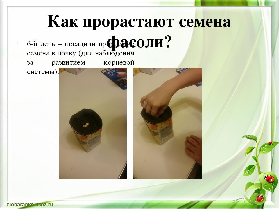 Выращивание фасоли исследовательская работа 3