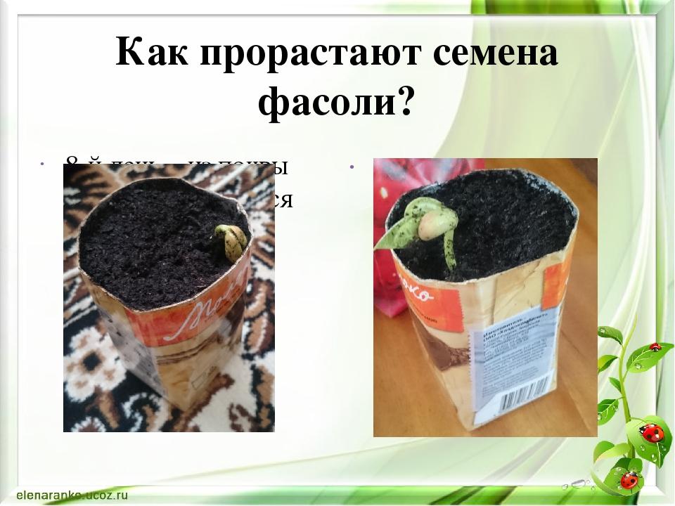 Выращивание фасоли исследовательская работа 27