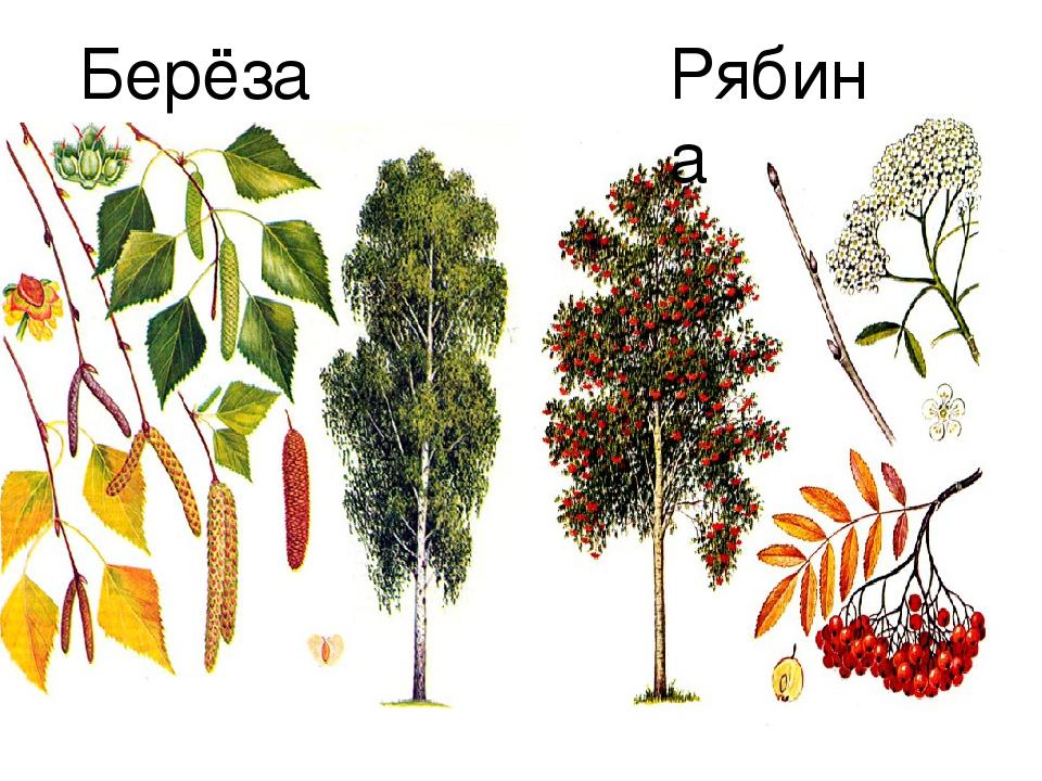 Картинки деревьев береза рябина клен сирень