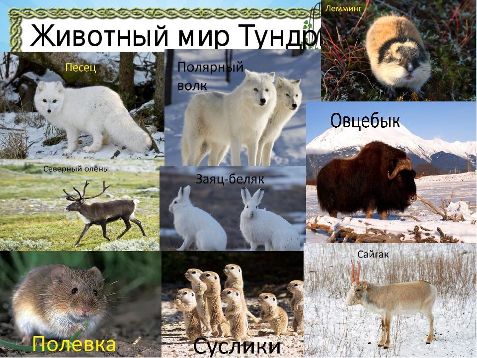 определяется животные тундры фото и названия несколько