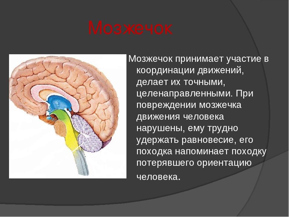 Мозжечок Мозжечок принимает участие в координации движений, делает их точными...