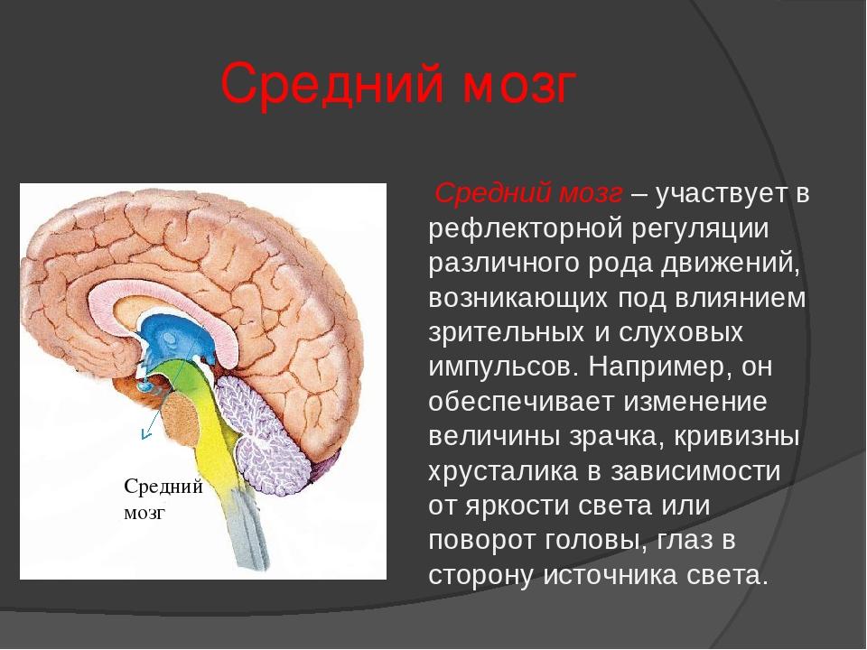 Средний мозг Средний мозг Средний мозг – участвует в рефлекторной регуляции р...