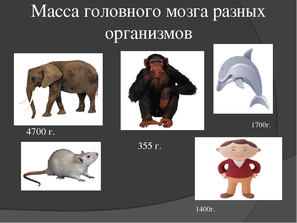 Масса головного мозга разных организмов 4700 г. 355 г. 1700г. 1400г.