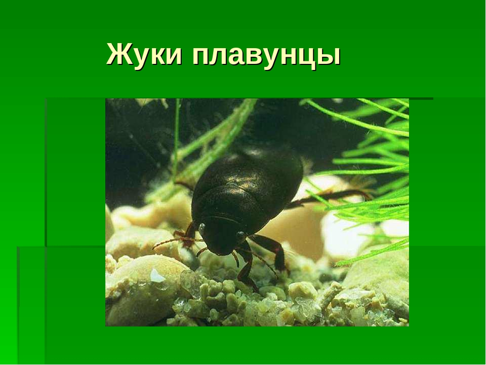 Жуки плавунцы