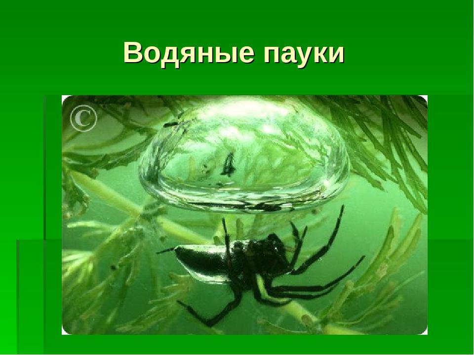 Водяные пауки