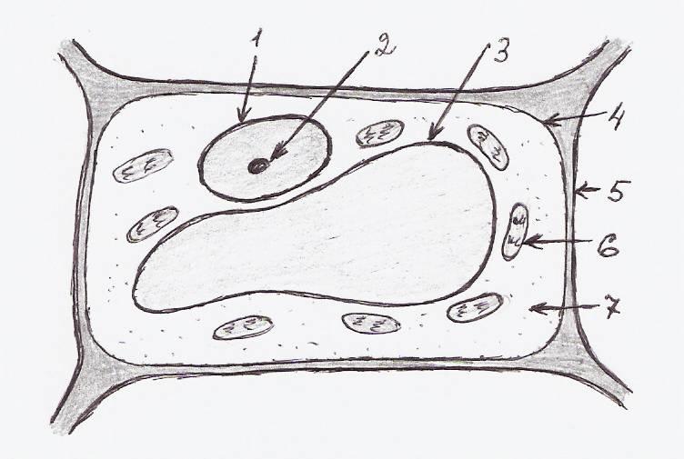 Растительная клетка картинки