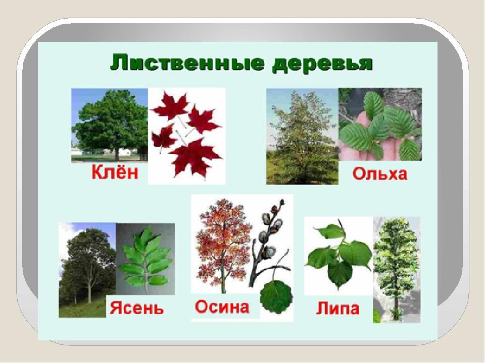 лиственные деревья беларуси фото и названия марковна долгое