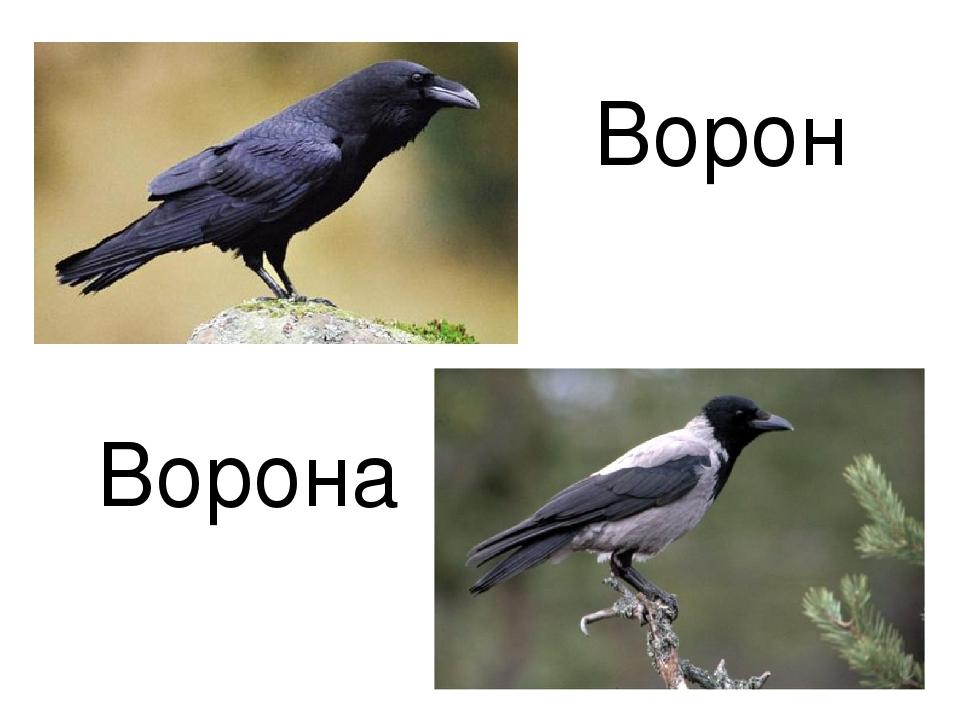 Ворон и ворона это разные птицы или нет
