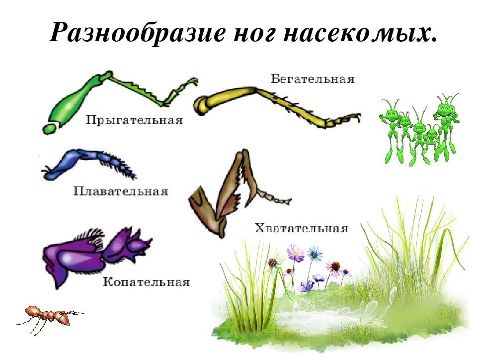 пошаговыми типы конечностей насекомых картинки дело только