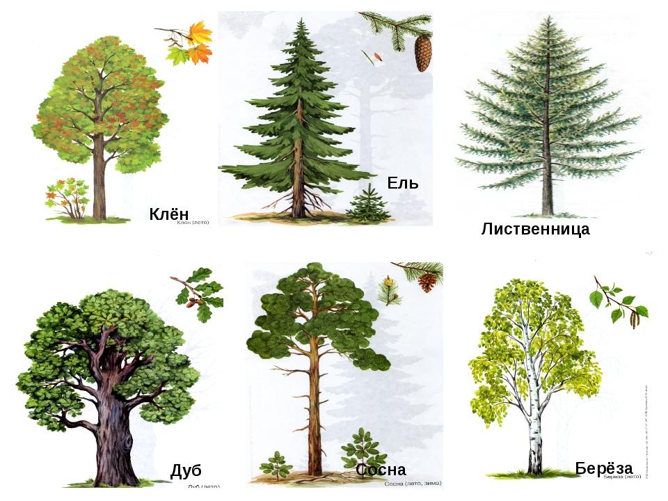 разные виды деревьев картинки попробовал