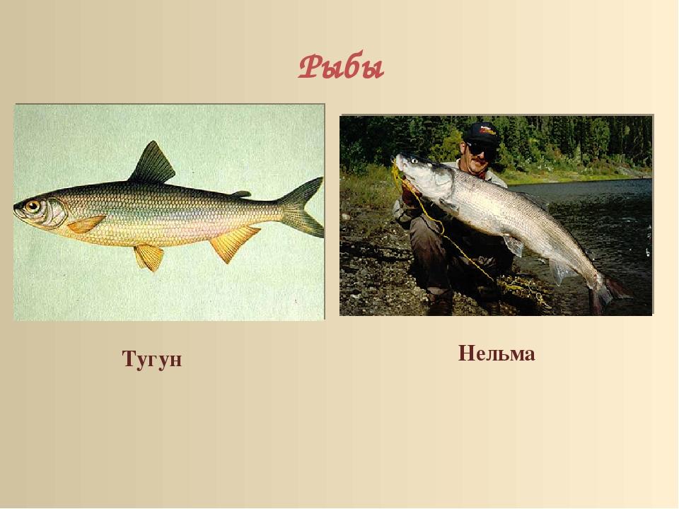 Рыбы Нельма Тугун