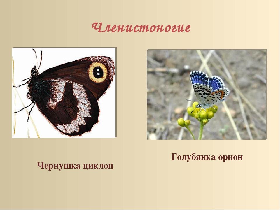 Членистоногие Голубянка орион Чернушка циклоп