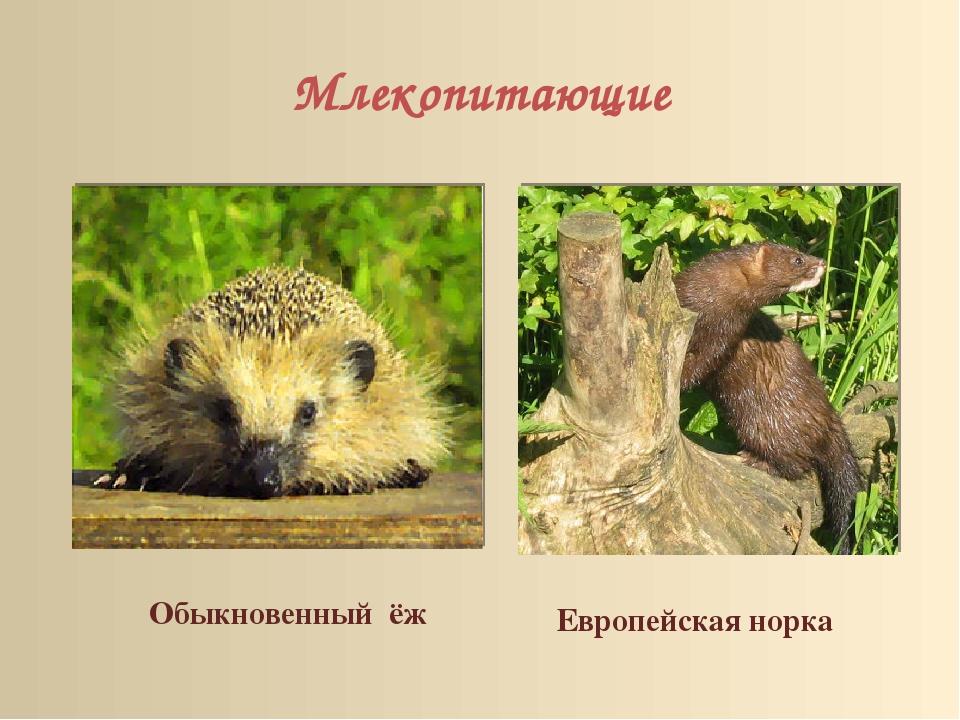 Млекопитающие Обыкновенный ёж Европейская норка