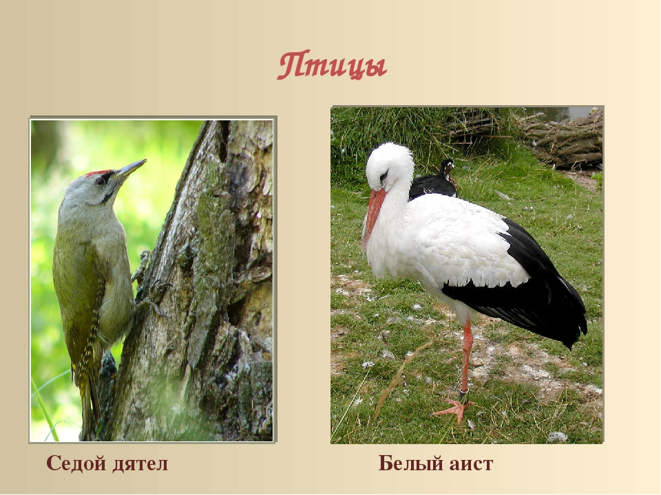 Птицы Седой дятел Белый аист