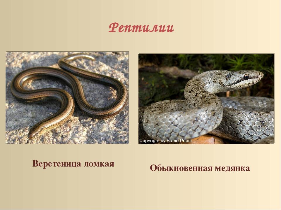 Рептилии Веретеница ломкая Обыкновенная медянка