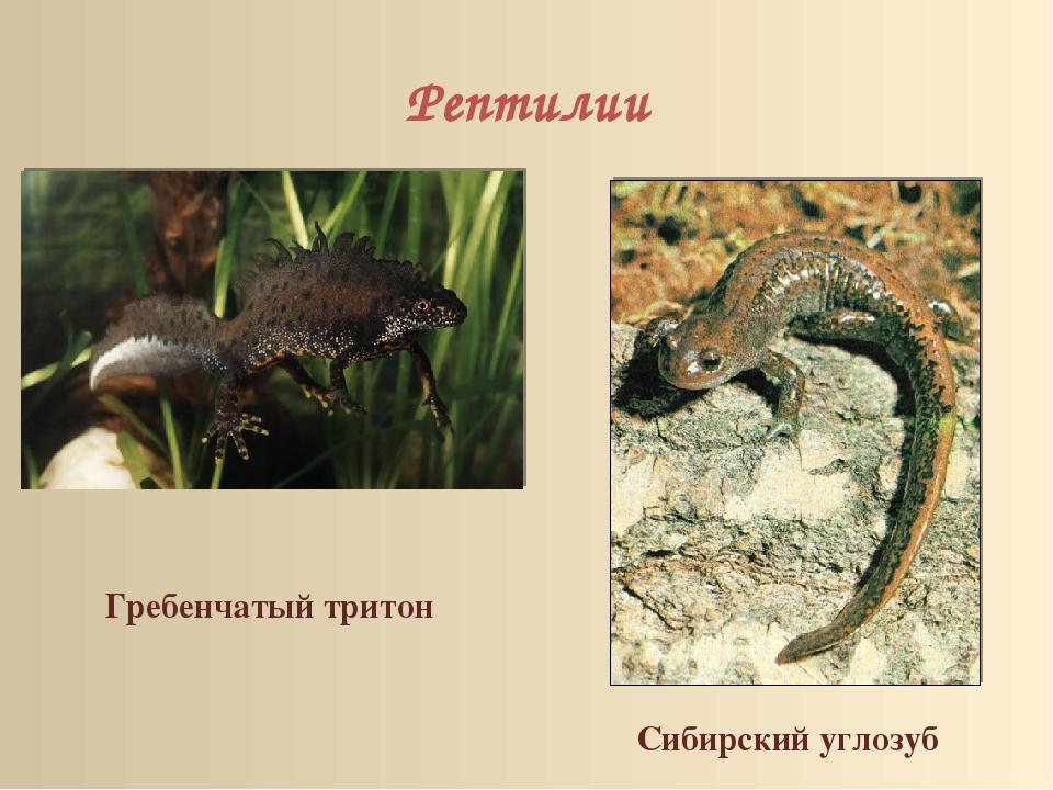 Рептилии Гребенчатый тритон Сибирский углозуб