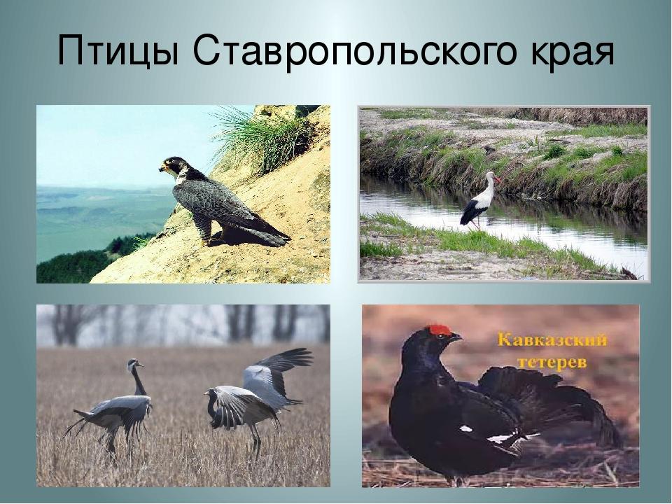 птицы краснодарского края презентация длинного
