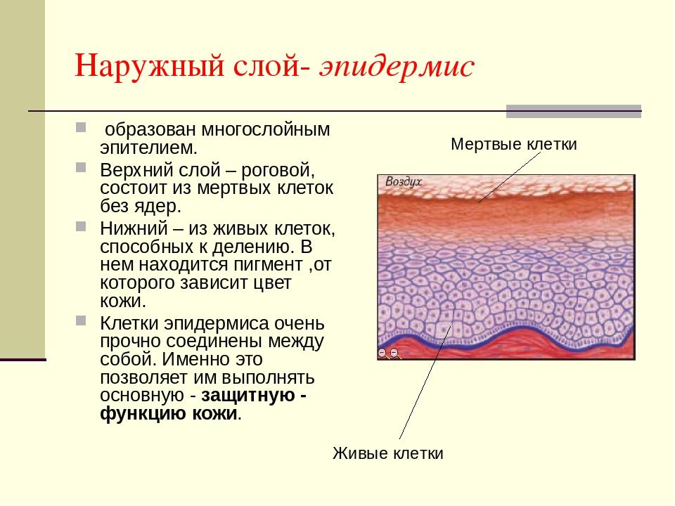 Наружный слой- эпидермис образован многослойным эпителием. Верхний слой – рог...