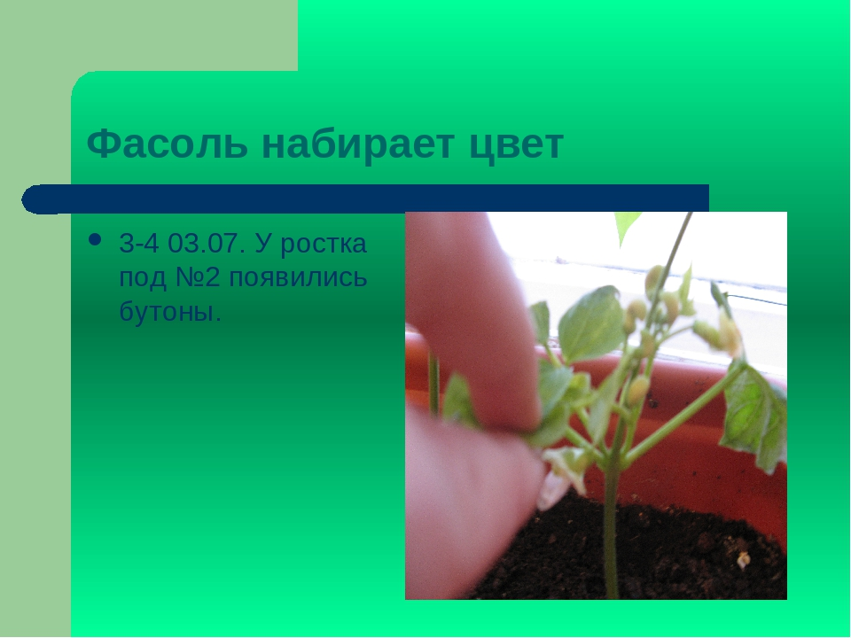 Фасоль набирает цвет 3-4 03.07. У ростка под №2 появились бутоны.