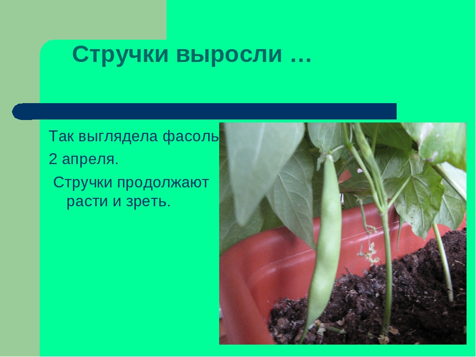 Стручки выросли … Так выглядела фасоль 2 апреля. Стручки продолжают расти и з...