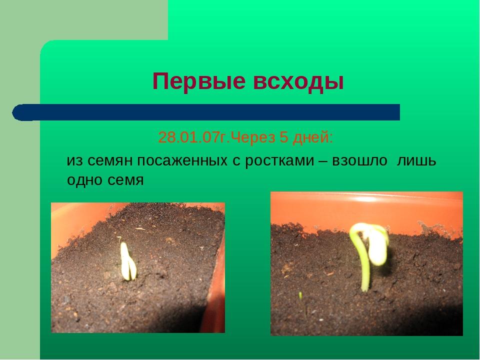 Первые всходы 28.01.07г.Через 5 дней: из семян посаженных с ростками – взошло...