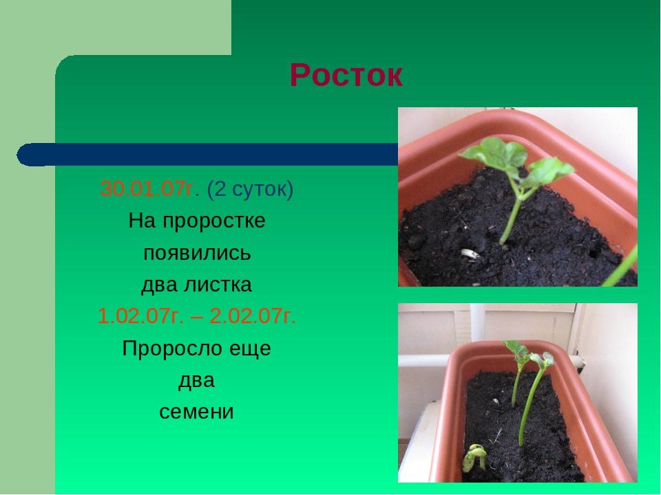 Росток 30.01.07г. (2 суток) На проростке появились два листка 1.02.07г. – 2.0...
