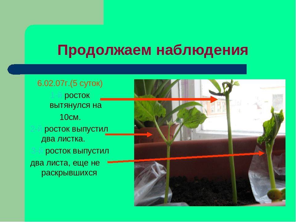Продолжаем наблюдения 6.02.07г.(5 суток) 1-й росток вытянулся на 10см. 2-й ро...