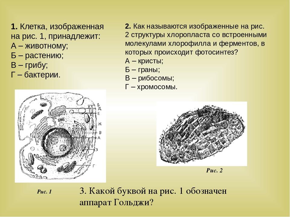 1. Клетка, изображенная на рис. 1, принадлежит: А – животному; Б – растению;...