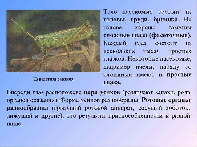 Перелетная саранча Тело насекомых состоит из головы, груди, брюшка. На голов...