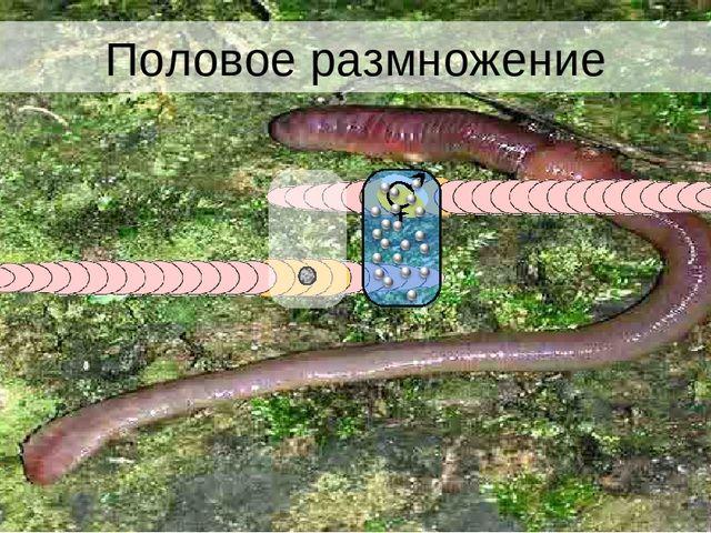 Половое размножение