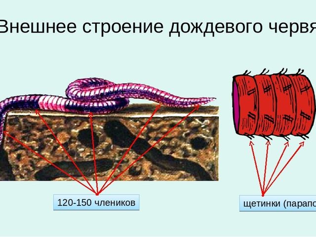 Внешнее строение дождевого червя