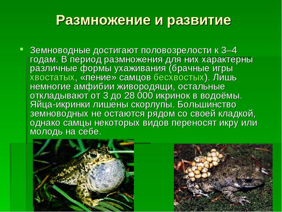 Земноводные достигают половозрелости к 3–4 годам. В период размножения для н...