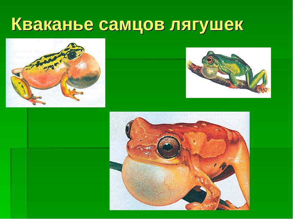Кваканье самцов лягушек