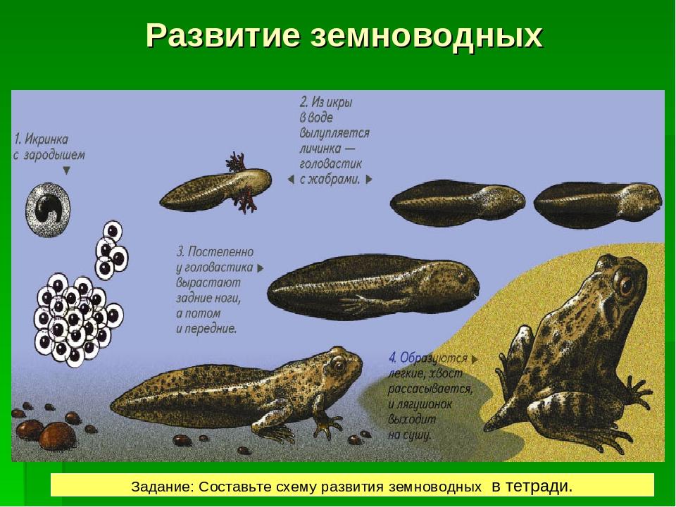РАЗВИТИЕ Развитие лягушки происходит с превращением.  Развитие земноводных З...