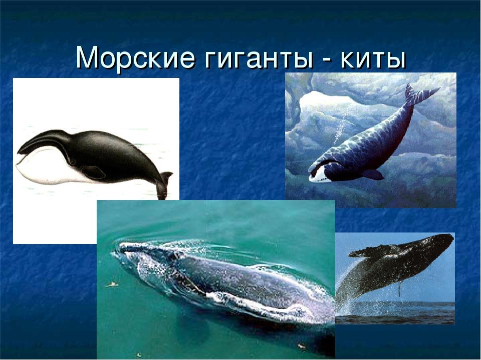 Морские гиганты - киты