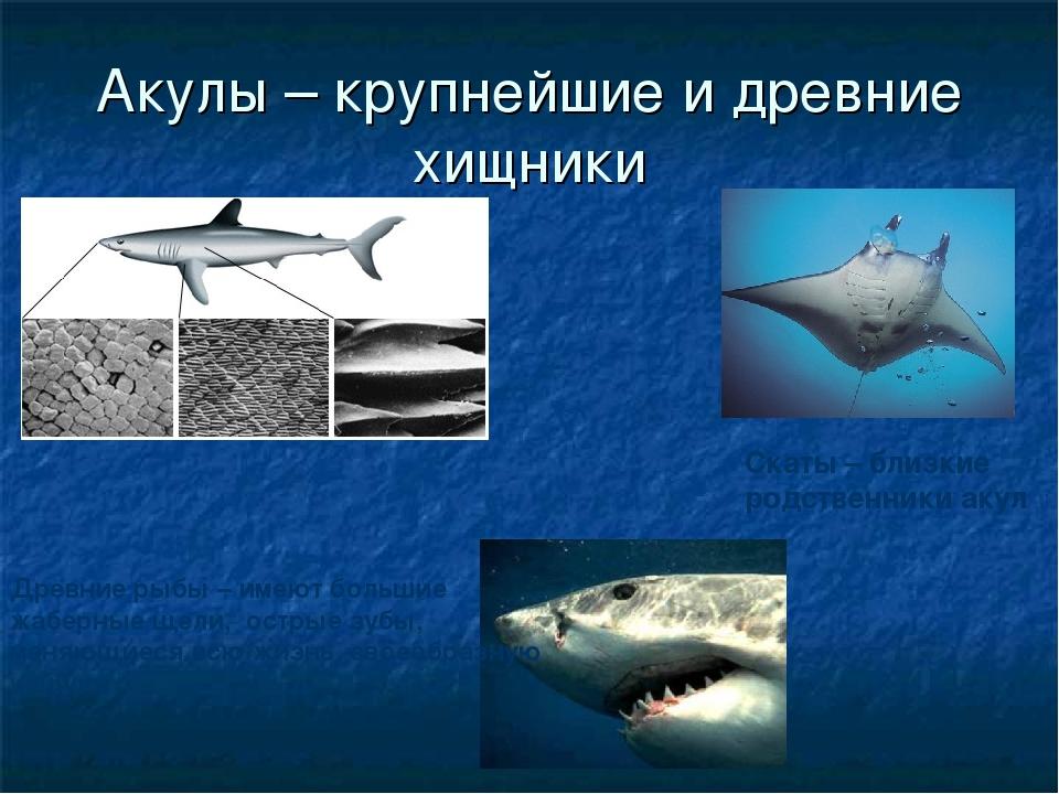 Акулы – крупнейшие и древние хищники Древние рыбы – имеют большие жаберные ще...