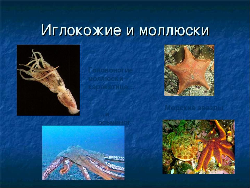 Иглокожие и моллюски Морские звезды Головоногие моллюски – каракатица… …и ось...