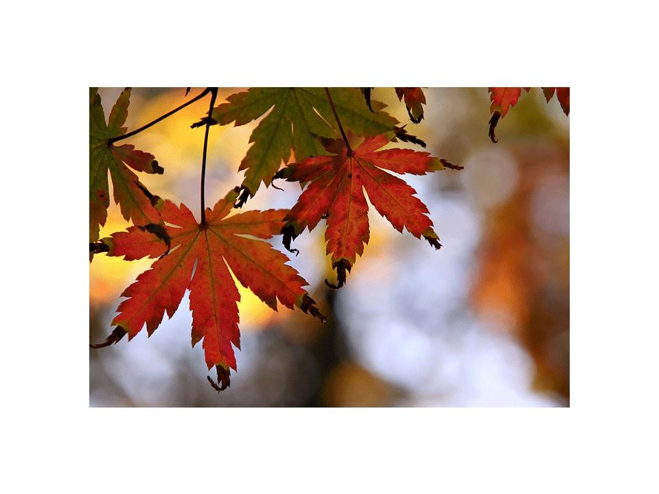 Картинки осенние листья с анимацией, белых роз