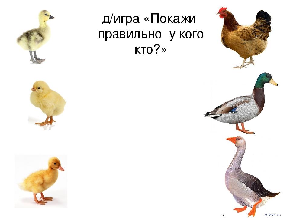 картинки домашних птиц и детенышей данный вид рисунка