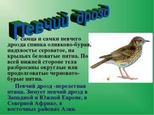 У самца и самкипевчего дроздаспинка оливково-бурая, надхвостье сероватое